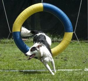 Dog jumping through hoop